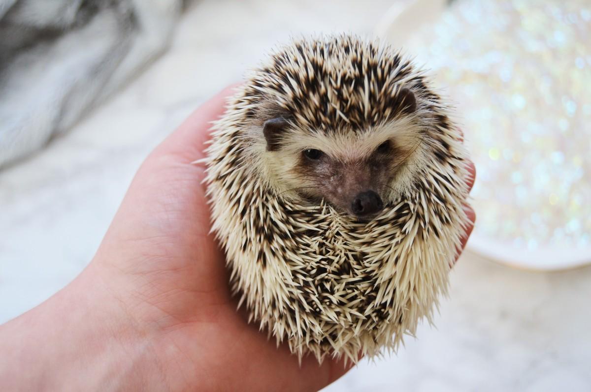 Bridget Update: Grumpy Hedgie